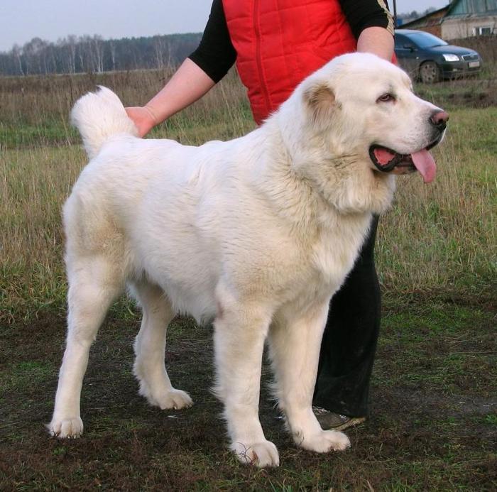 Одинцовский район, МО, алабай белый, потряшка. Найдена собака, Собака, Помощь животным, Алабай, Одинцово