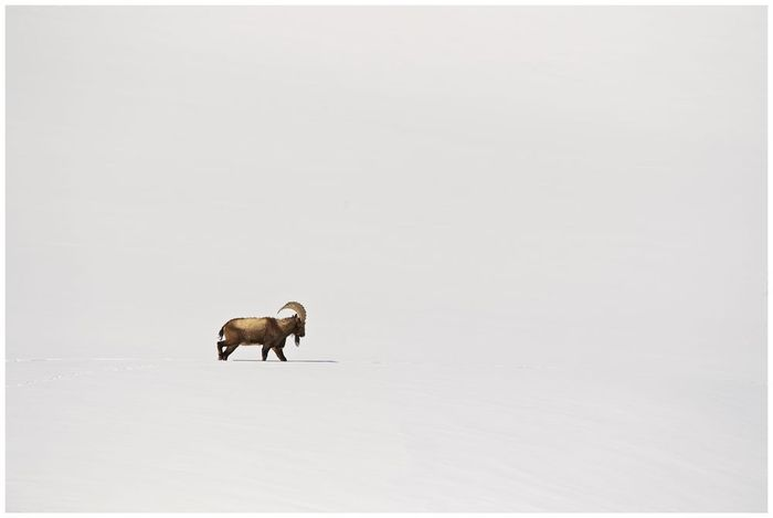 Одинокий козёл... Горные козлы, Гималаи, Фотография, The National Geographic