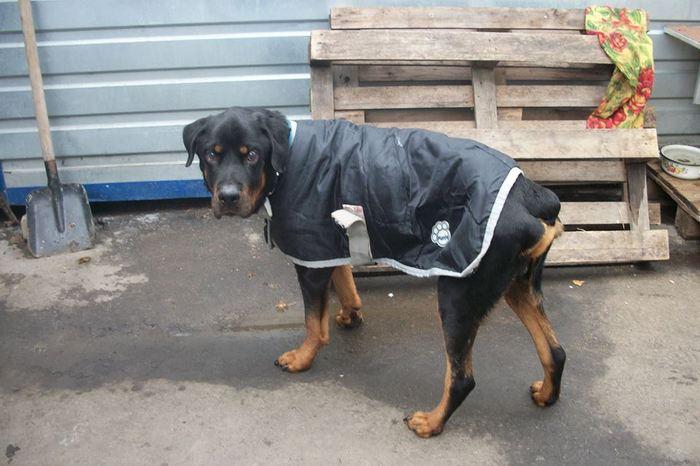 Квартиранты бросили своего ротвейлера одного в пустом доме.. собака, ротвейлер, спасение, Кременчуг, длиннопост, не мое, помощь животным