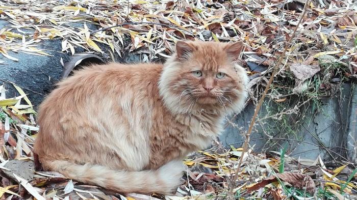 Встретил такого грустного котэ. Почти лев осень, лев, кот, грусть