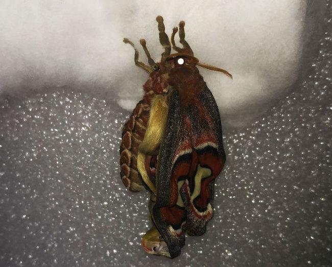 Шелкопряд Атлас Attacus atlas, Насекомые, Бабочка, Длиннопост