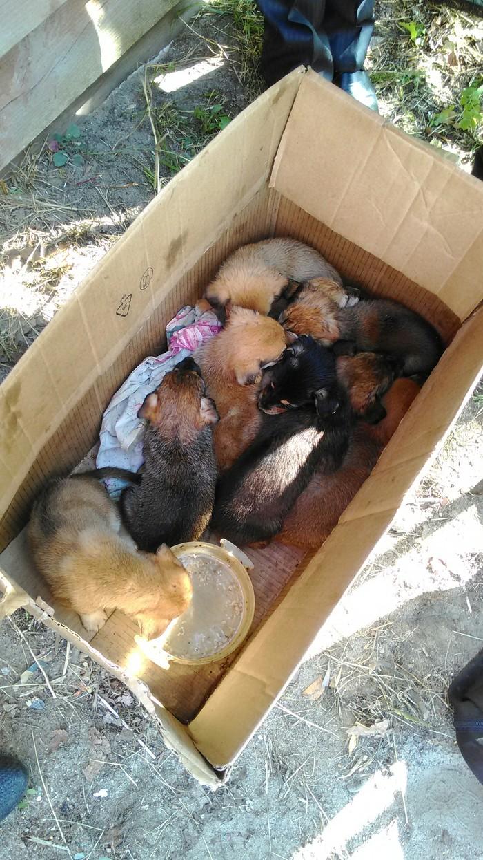 Как у нас появилась вторая собака Собака, Щенки, Семья, Длиннопост