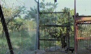 Побег из зоошенка. Медоед, Побег, Животные как люди, Животные, Стремление к свободе, Длиногифка, Гифка, Видео