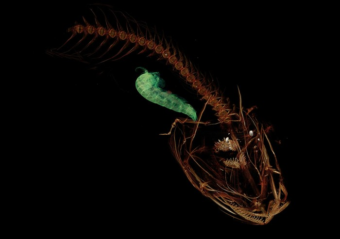 Компьютерная томография самой глубоководной рыбы: Марианского парусника Рыба, Кт, Марианская впадина