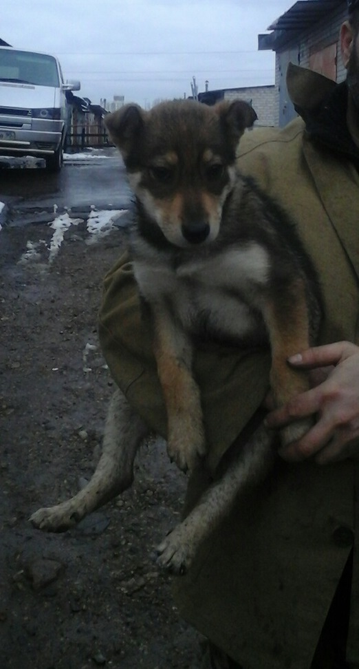 Щенок ищет дом Щенки, Собака, Минск, Животные, Помощь животным, Длиннопост, В добрые руки