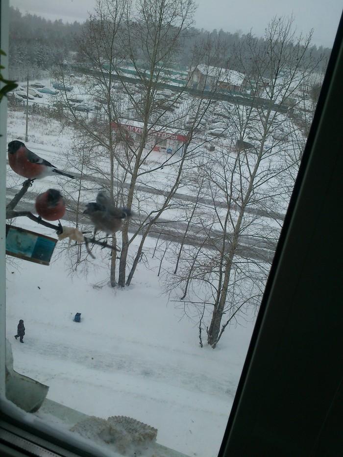 Зимняя кормушка для птиц: наблюдаем за снегирями. Птицы, Снегири, Кормушка, Кормушка для птиц, Своими руками, Зима, Длиннопост