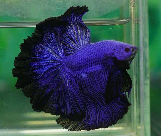 Betta splendens -бойцовая рыбка