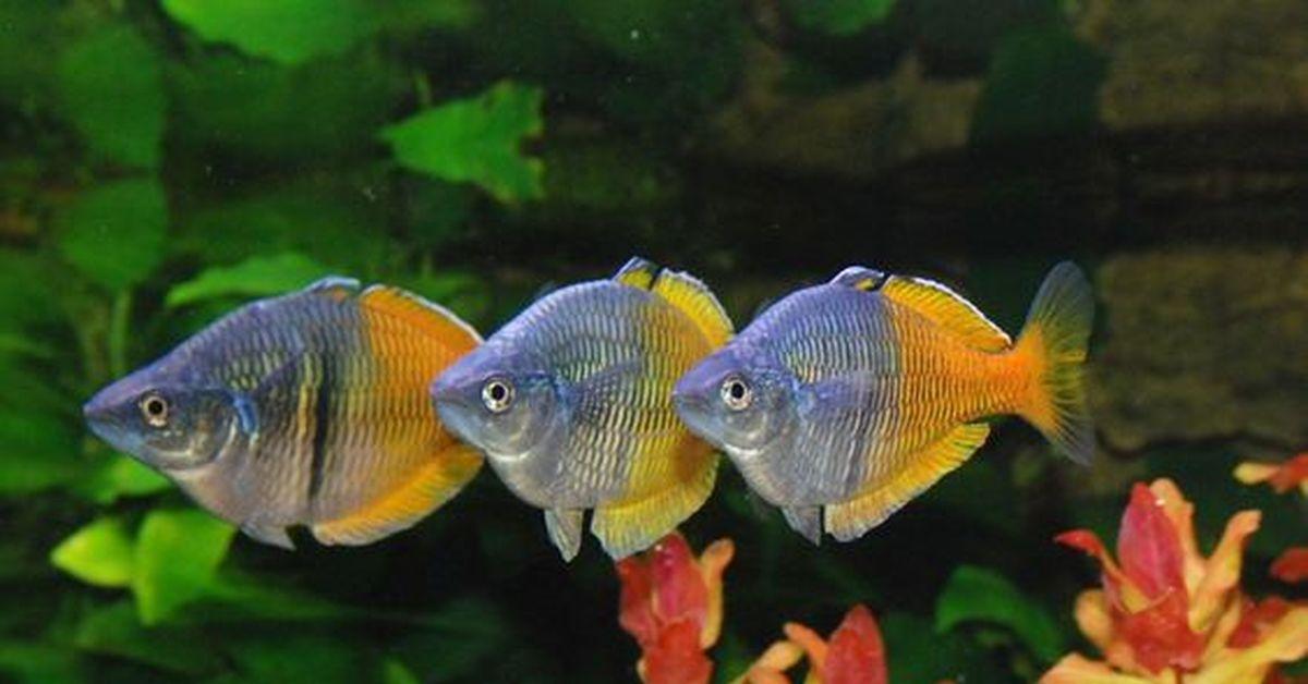 подключается мобильной фото всех мирных аквариумных рыб это