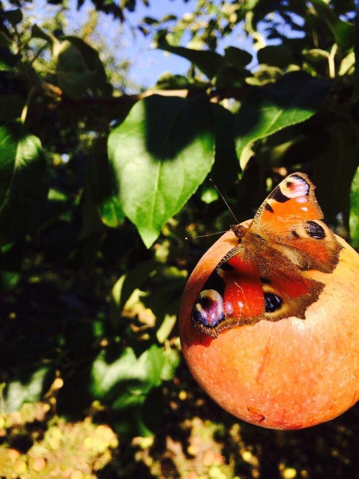 Павлиные глазки на яблочке