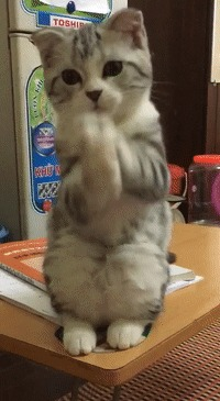 То ли просит, то ли молится Кот, Лапки, Домашние животные, Стол, Холодильник, Милота, Гифка