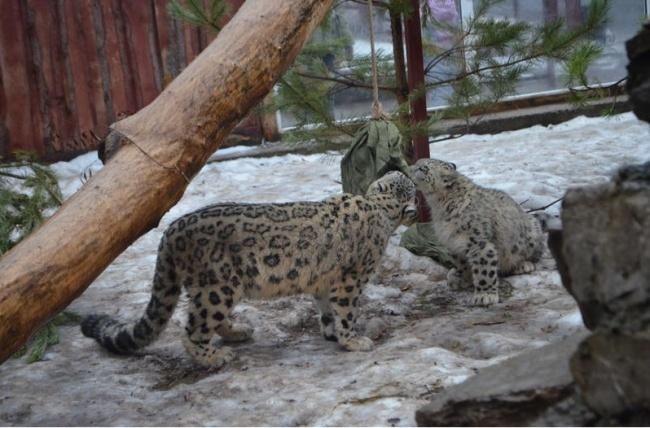 Вы хотели фоток больших котанов? Их есть у нас! Челябинский зоопарк, Снежный барс, Животные, Видео, Длиннопост, Зоопарк