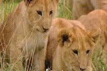 Когда забрёл в чужой район. воспитание, дикие животные, Дикая природа, лев, Опыт, животные как люди, гифка, видео