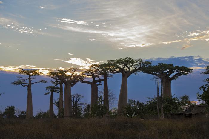 Так вот кто держит небо Мадагаскар, Дерево, Гигант, Небо, Фотография