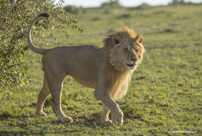 Прощание с легендой. Жизнь одного льва. лев, Африка, Масаи-Мара, Алексей Осокин, не мое, длиннопост