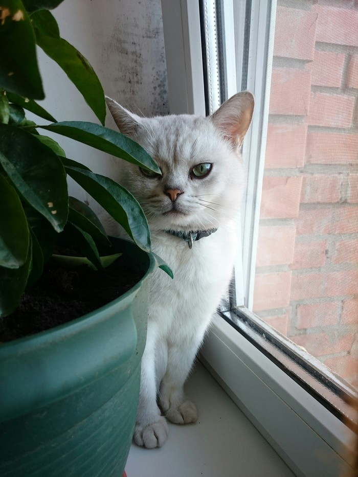 Кто тут красавчик? Кот, Британцы, Домашний любимец, Длиннопост