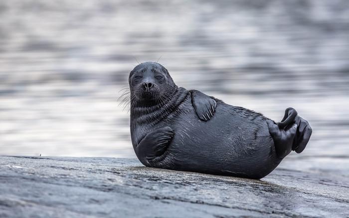 Ладожская топ-модель. фотография, тюлень, The National Geographic
