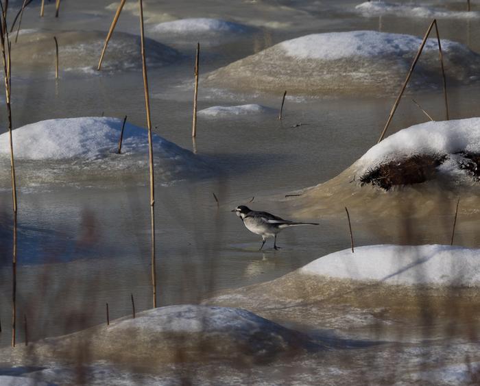 Ничего необычного, просто трясогузка в середине декабря, бегает по снегу. Трясогузка, Зима, Суроавая птичка, Лень улетать, Длиннопост
