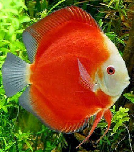 Symphysodon aequifasciatus Дискуссия, Аквариумные рыбки