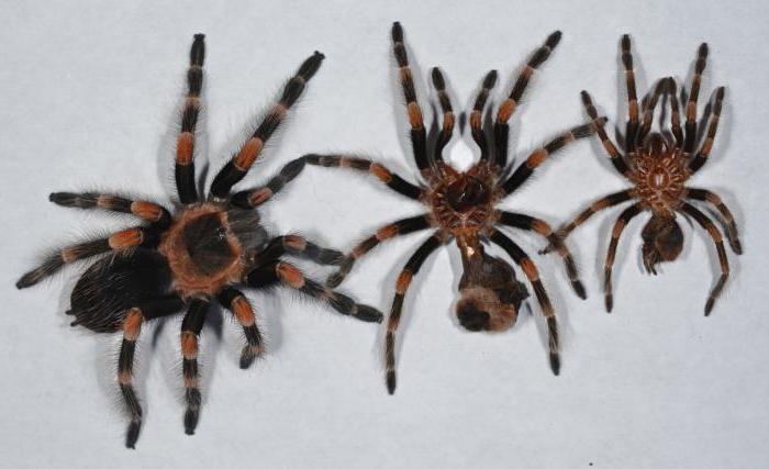 Линька пауков птицеедов Пауки-Птицееды, Паукообразные, Паук, Животные, Линька