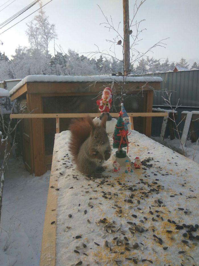 Сосед поставил на своей кормушке елку и украшения Белка, Кормушка, Новый Год, Ёлка, Животные