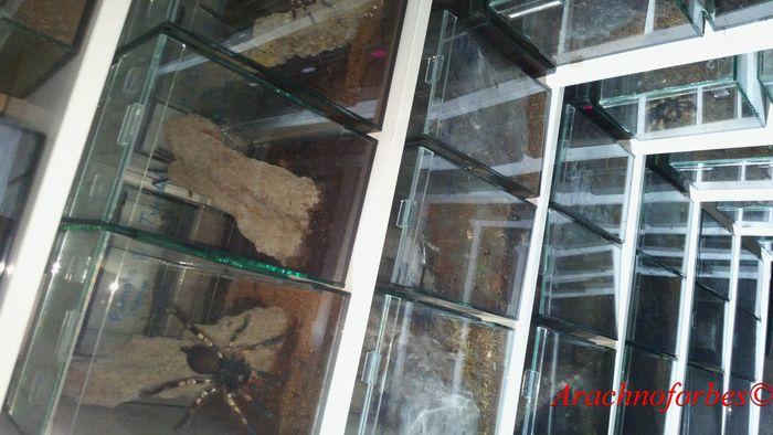 Комната с птицеедами Arachnoforbes, Паук, Птицеед, Пауки-Птицееды, Пауки птицеды, Террариумистика, Террариум, Длиннопост