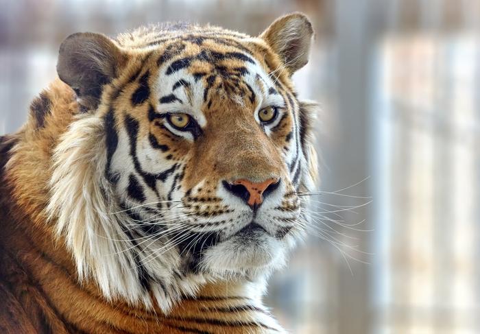 Очень хвостатый пост Челябинский зоопарк, Амурский тигр, Животные, Животные как люди, Дикая природа, Длиннопост
