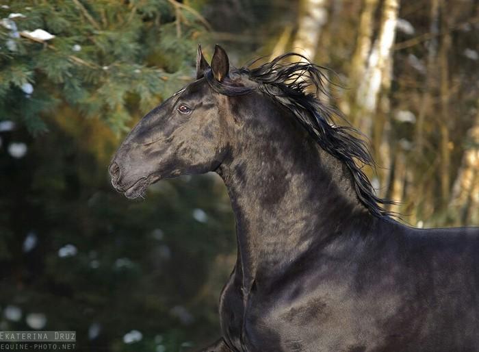 Черный конь умирает... Стихи, Лошади, Кулиев, Смерть