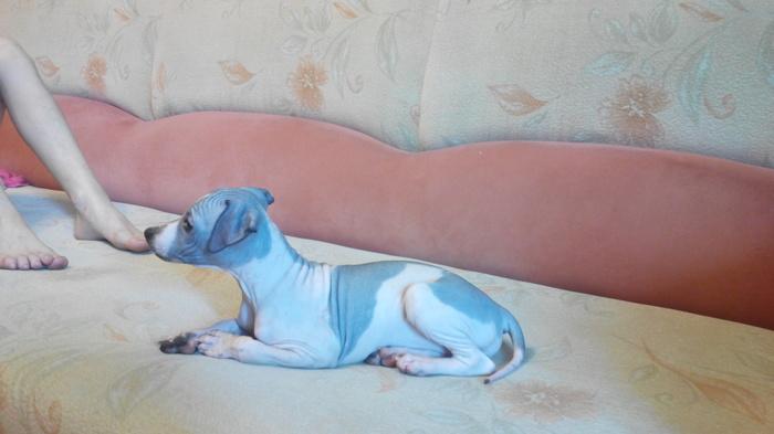 Аллергия и мечта Аллергия, Собака, Мечта, Обожаю собак, Длиннопост