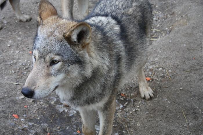 Шерстяные волчары Челябинского зоопарка челябинский зоопарк, Животные, длиннопост, животные как люди, Волк, зоопарк
