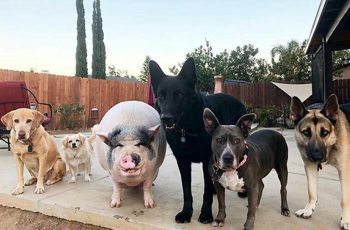 Свинья, которая выросла с собаками, стала любимицей соцсетей Собака, Свинья, Маугли, Няша