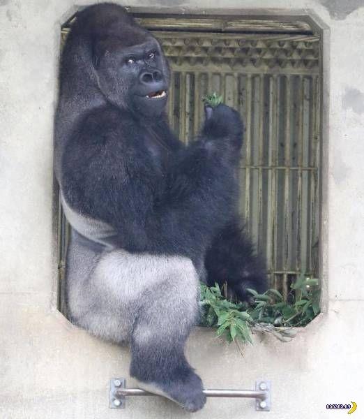 Крутой Гориллыч горилла, фотография, длиннопост