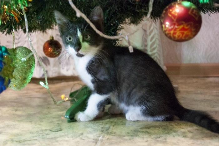 Классный новогодний подарок-котенок! Домашний, воспитанный. В дар. Кот, Подарок, Длиннопост