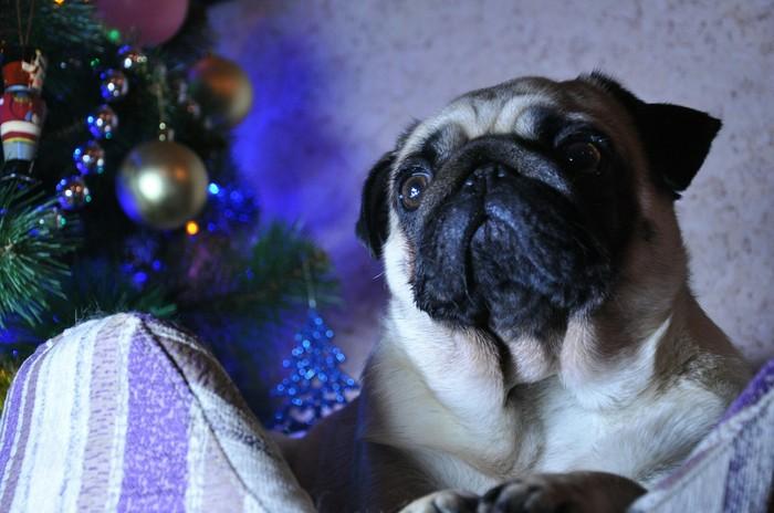 Моя собака, кажется, осознает, что грядет ее год :) Мопс, Новый Год, Год собаки