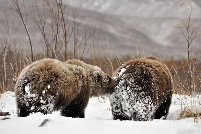 Дикая природа Камчатки. Медведи Камчатка, Медведь, Кроноцкий заповедник, Лиана Варавская, Дикая природа, Длиннопост