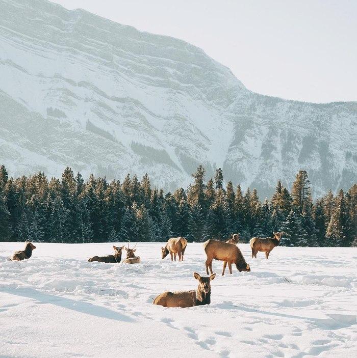 Где-то в Канаде Олень, Канада, Горы, Животные