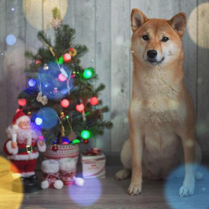 С новым годом! Сиба-Ину, Doge, Собака, Фотография