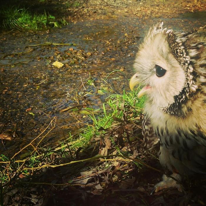 Маленькая сова и то, как она выросла. Сова, Птицы, Животные, Длиннопост
