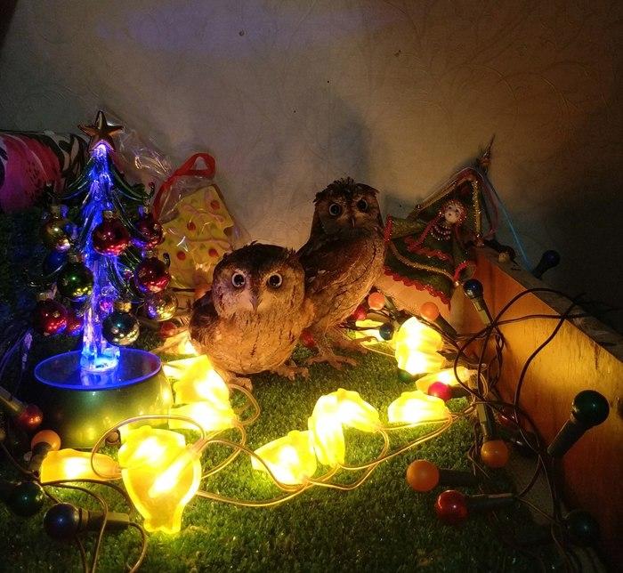 Новогодние совуны Улисс и Совинский, Сова, Сплюшка, Фотография, Новый Год, Длиннопост
