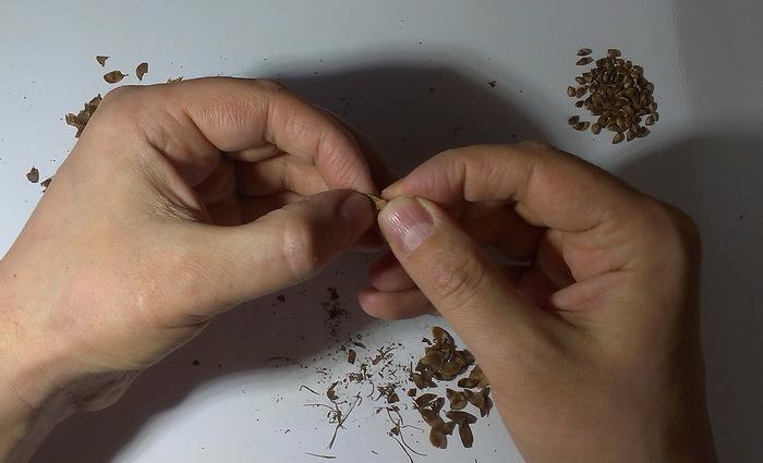 Лиственница. Заготовка семян. Нужна ли стратификация Лиственница, Шишки не с елки, Семена, Заготовки, Стратификация, Длиннопост