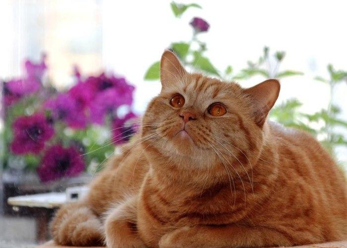 """Портрет """"миницаря"""" зверей. Кот, Рыжий, Царь зверей, Картина, Картина маслом, Портрет, Животные, Домашние животные"""