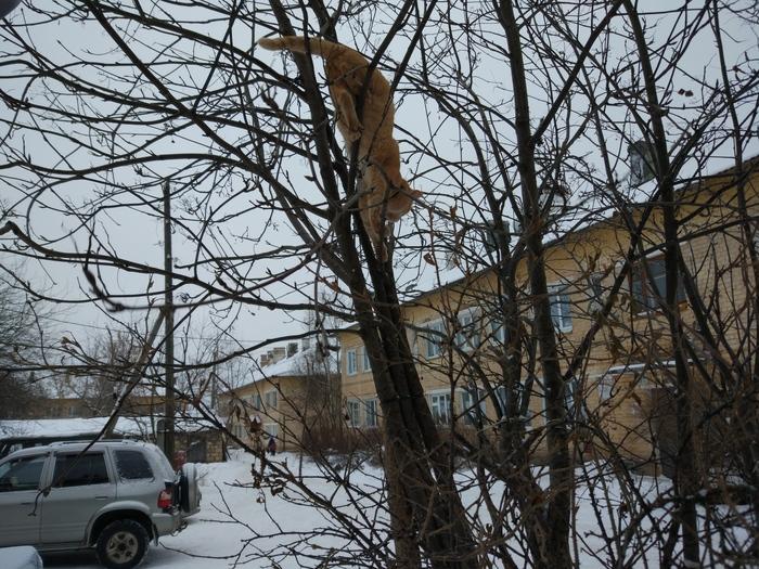 Рыжий снегирь Кот, На дереве, Сидит