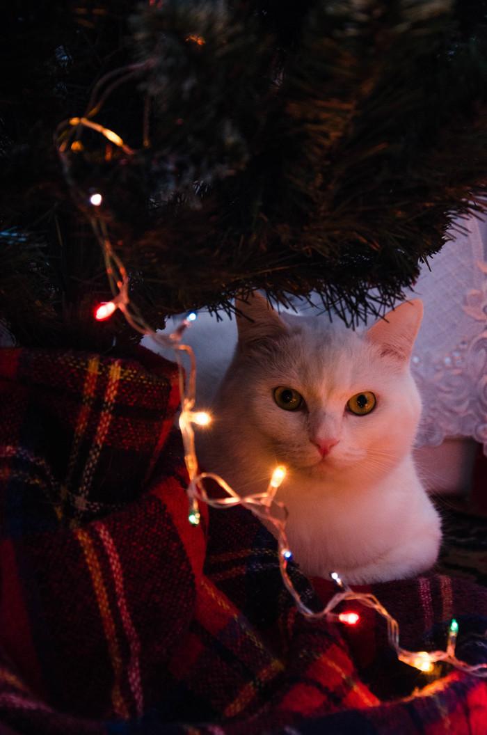 Рождественского жиробаса вам в ленту Кот, Рождество, Жиробасинка, Длиннопост
