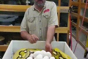 Мужик с яйцами, пришёл за яйцами и получил...