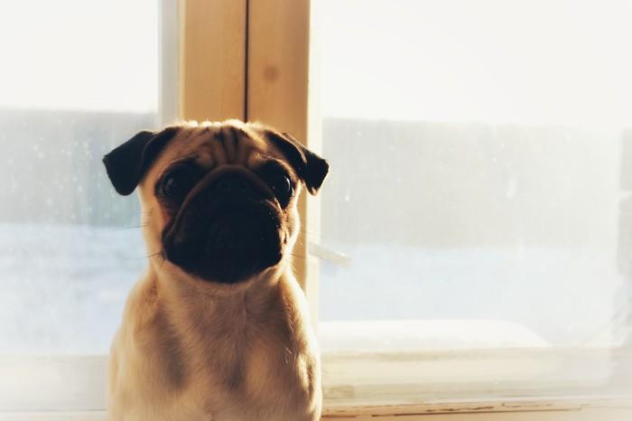 Солнечный день Мопс, Собака, Солнечно