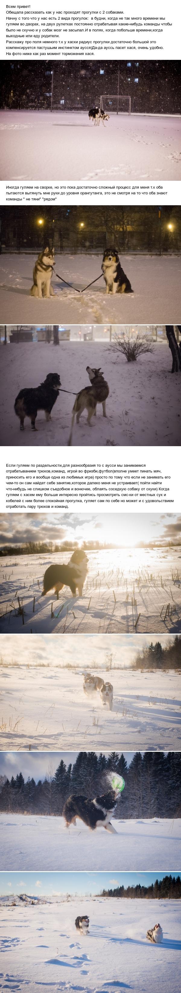 Наши хроники хаусси Хаски, Аусси, Австралийская овчарка, Собака, Длиннопост
