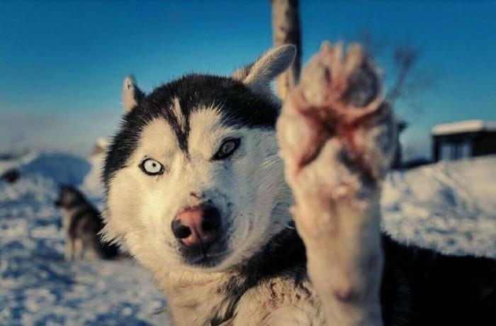 Собакообразный пост. Берингия. Берингия, Камчатка, Собака, Хаски, Лайка, Забег, Удивление, Чемпион