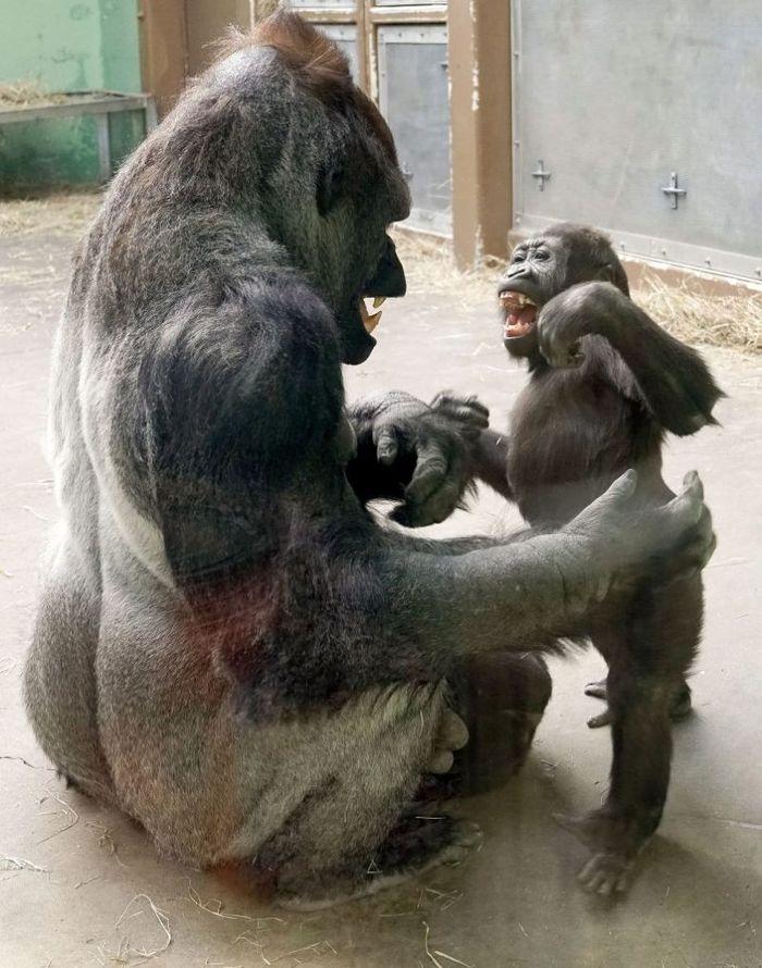 Дернул батю за чуб Общество, Зоопарк, Животные, Приматы, Горилла, Батя, Плохая шутка, Dezinfo, Длиннопост