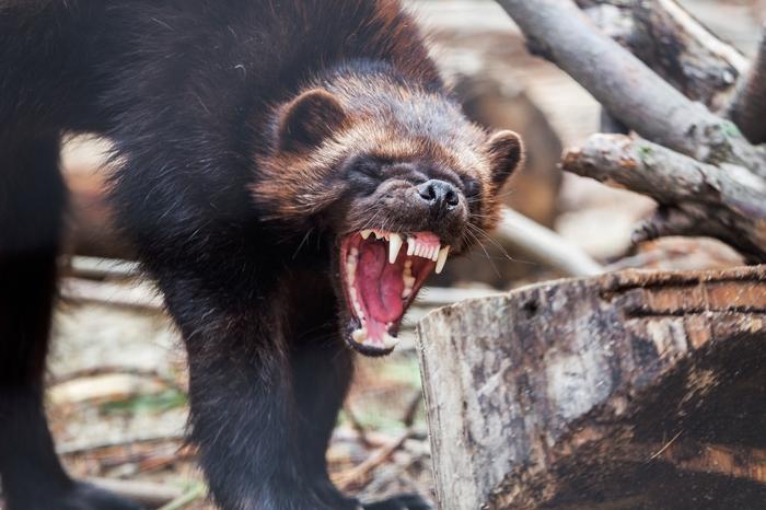 Увидеть росомаху и не умереть Челябинский зоопарк, Дикие животные, Росомаха, Животные как люди, Длиннопост, Животные