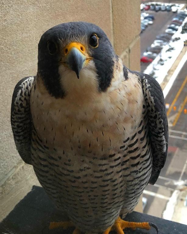 Этот сапсан каждый день прилетает к окну нашего офиса