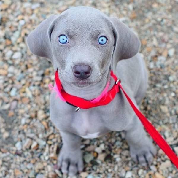 Щенок с голубыми глазами